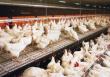 На донских птицефабриках усиливают превентивные меры против гриппа птиц
