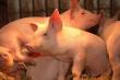 Минсельхоз России: за январь производство продукции свиноводства в сельхозорганизациях увеличилось на 12,6%