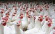 Украина будет поставлять мясо птицы в Сингапур