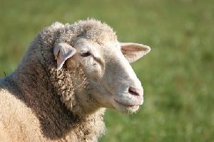 На месте «Белой птицы» вырастят овец