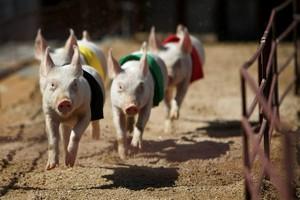 Свиная чума в Латвии до сих пор распространяется