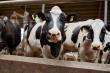 В Ульяновской области развивается животноводство