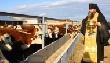 Элитный племенной скот из Австралии заполняет пастбища Приамурья