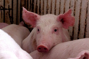 Деятельность одного из калининградских свинокомплексов признали незаконной