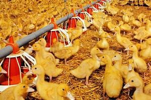 Продукция южноуральской фермы сменит на прилавках импортную утку