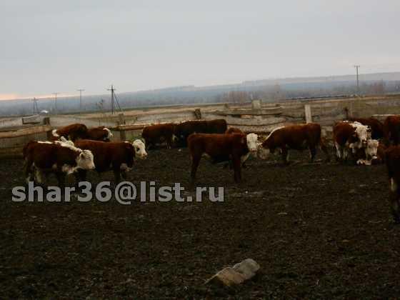 Продам КРС Казахская белоголовая
