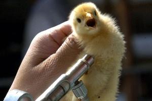 Карантин ввели на птицефабриках в Надеждинском районе Приморья из-за птичьего гриппа
