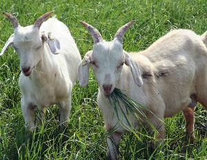 Поголовье овец и коз в России уменьшилось на 1,1%