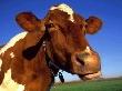 Натуральных быков в Приамурье меняют на «пробирки»