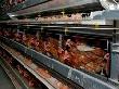 В Самарской области будет построена новейшая птицефабрика