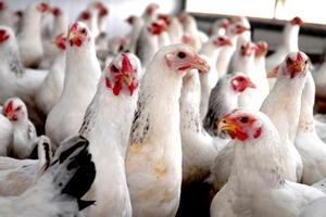 В Омской области запущена птицефабрика по выращиваю бройлеров