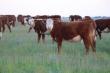 На Алтае зафиксирован двойной рост продаж племенного скота