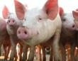 В животноводстве Кубани складывается критическая ситуация