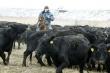 Ферма гарантирует. Ставка на высокопродуктивные молочные и мясные породы КРС в Воронежской области себя оправдала