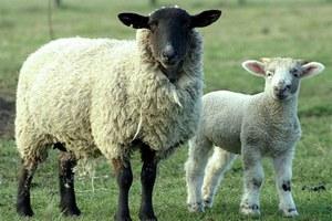 "Племзавод ""Комсомолец"" успешно завершает окотную кампанию овец"