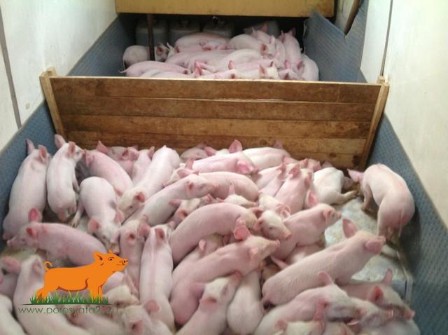 продам поросят мясо-сальной породы.Калужская область.