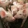 ПОГОЛОВЬЕ Поголовье свиней во всех категориях хозяйств России на 1 октября 2010 года, по данным Росстата, составило 18 717 тыс. голов, что на 0,7% меньше, чем на аналогичную дату 2009 года и на 0,5% меньше, чем на 1 сентября 2010 года. Снижение данного по