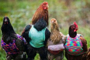 Британка связала шерстяные жилетки для кур и петухов