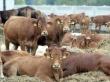 Чита: Весь скот должен состоять на учете
