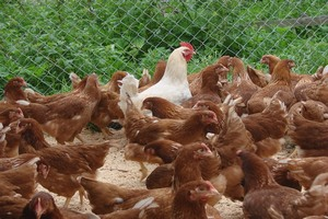 Кур из Китая разводят в Башкортостане