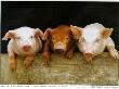 Шигонский свинокомплекс реанимируют