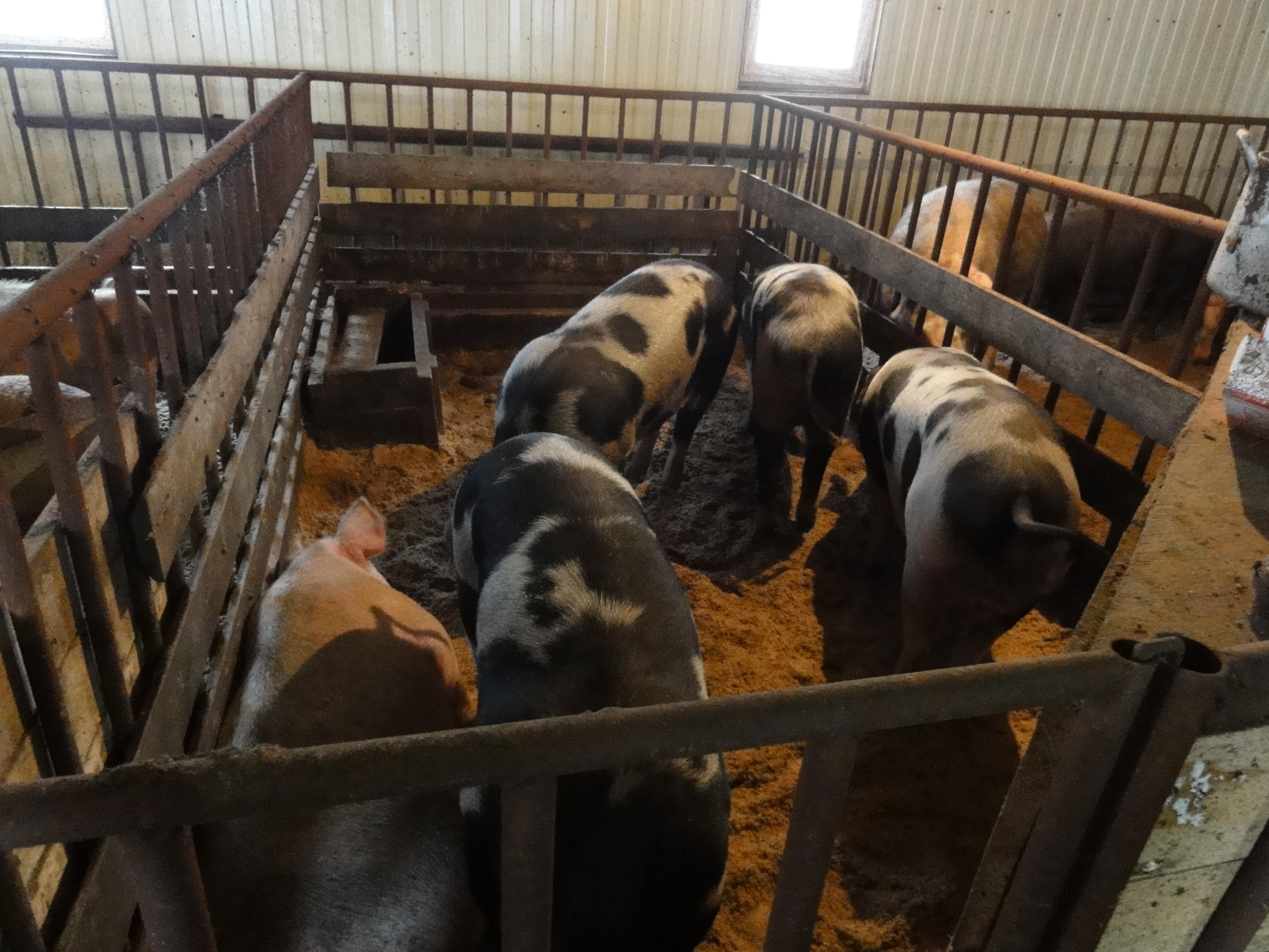 Свинина с фермы