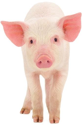 Свинина живок. Оптовая продажа живой свинины высокого качест