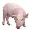 Свиноводство и живок