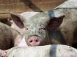 В Красноярском крае за многочисленные нарушения закрыли свиноферму