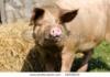 Создан новый тип свиньи Багачанский