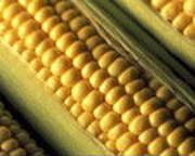 Продаем Кукурузный глютеновый корм