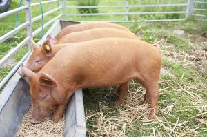 В России цены на комбикорма для свиней продолжают бить рекорды