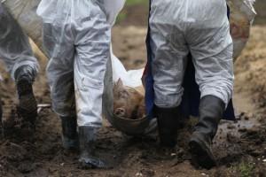 На Украине не стихает вспышка африканской чумы свиней
