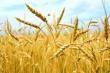 Российский зерновой рынок: рост цен слабеет, но кукуруза начала дорожать