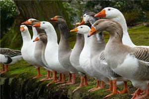 Рязанцы разработали инновационный подход по разведению гусей