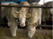 Россельхознадзор не допустит уничтожения крупного рогатого скота из-за вспышек ящура