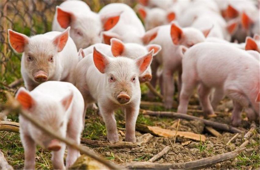 Продам поросят мясо-сальной породы .Ивановская область.