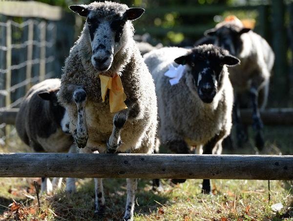 Мэшемская ярмарка овец (Великобритания. Мэшем, Северный Йоркшир)