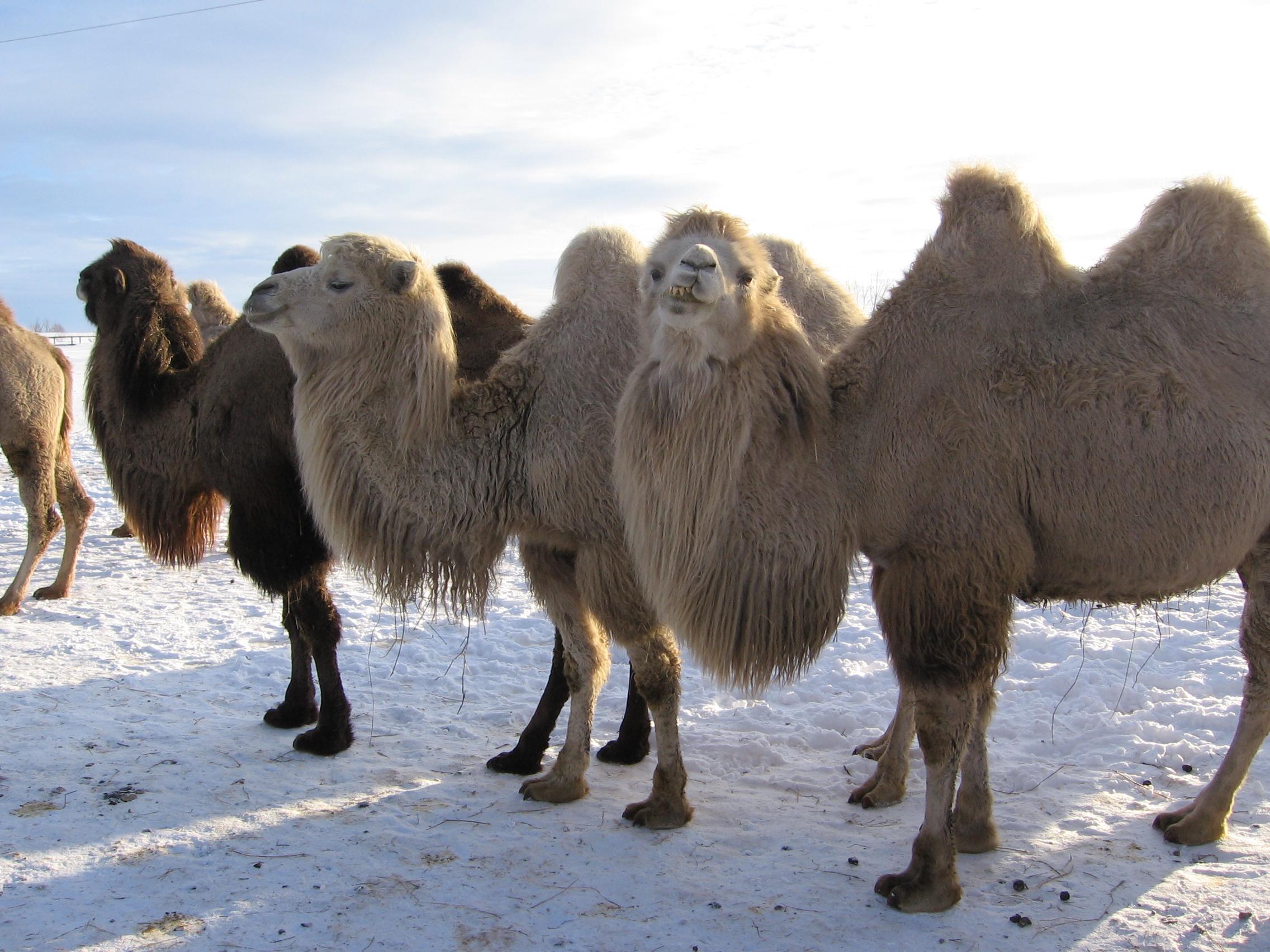 Верблюды племенные